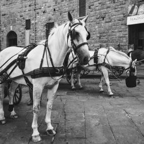Carriage horses in Piazza della Signoria